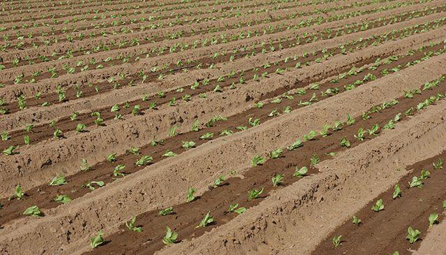 Desinfección de suelos agrícolas con ozono