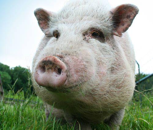 Ozono en la Merma de Carne de Cerdo